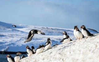 Fuglesafari til Hornøya i Øst-Finnmark